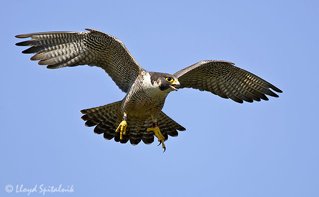 14 Interesting Facts About The Peregrine Falcon